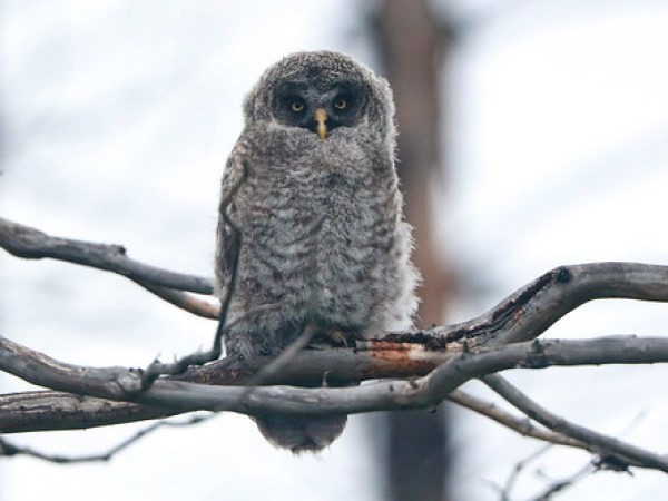 Great Gray Owlet