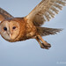 Portrait Of A Flying Barn Owl