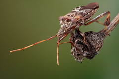 Leptoglossus occidentalis (2) - Bladpootrandwants