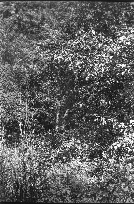 dense forest, urban nature, barrier, Sam's Club, West Asheville, NC, No. 1 Autographic Kodak Jr., Rollei Super Pan 200, HC-110 developer, 9.24.20