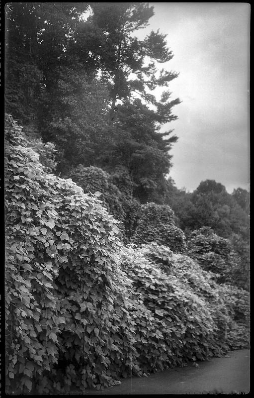 kudzu-covered landscape, buffer zone, Lowe's, Leicester Highway, Asheville, NC, Kochmann Korelle folding camera, Kodak TMAX 400, HC-110 developer, 10.1.20