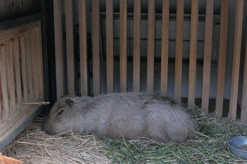 Capybara カピバラ