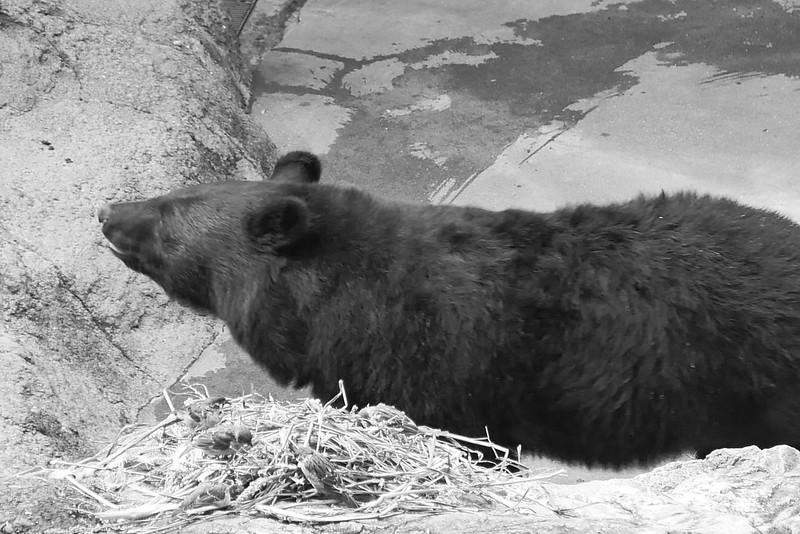 マレーベア Malay bear