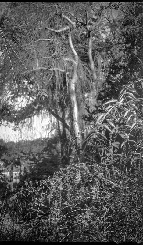 dense landscape, willowy trees, Asheville, North Carolina, Kodak Bantam, 828 film camera, 35mm film, Arista.Edu 200, Moersch Eco film developer, 10.15.20