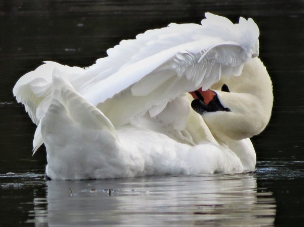 Swan - putting on the finishing touches