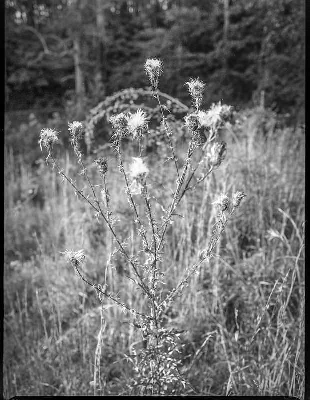 prickly blossoms, gone to seed, Biltmore Estate, Asheville, NC, Mamiya 645 Pro, mamiya sekor 45mm f-2.8, Arista.Edu 400, Moersch Eco film developer, 10.16.20