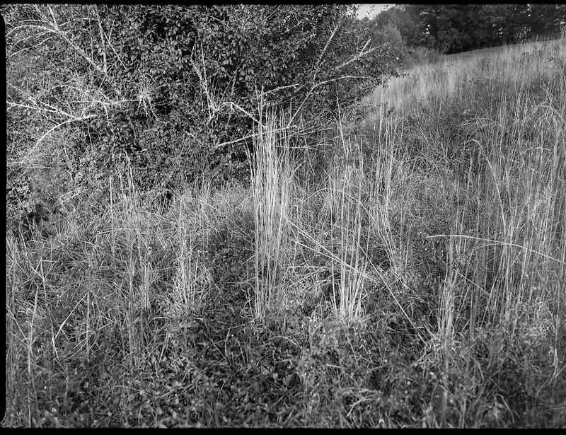 tall dried grasses, lichen-covered tree limbs, hillside, Biltmore Estate, Asheville, NC, Mamiya 645 Pro, mamiya sekor 45mm f-2.8, Arista.Edu 400, Moersch Eco film developer, 10.16.20
