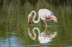 Flamencos e outras aves nas salinas de Santa Pola