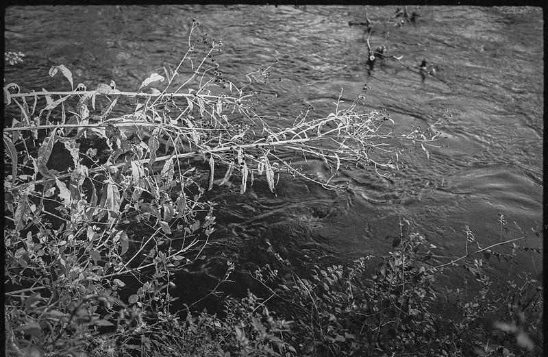 looking down, trampled underbrush, river, currents, French Broad River, Biltmore Estate, Asheville, NC, FED 4, Industar 61, Kodak Tri-X 400, HCC-110 developer, 10.16.20