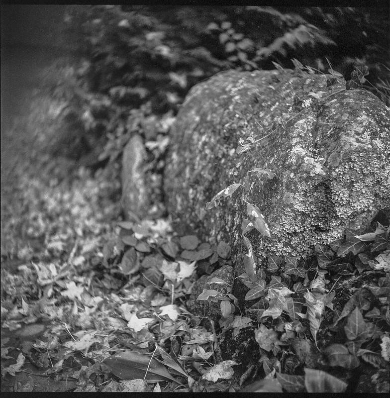 backyard boulder, ivy, Asheville, NC, Ricohflex Dia M, Arista.Edu 400, HC-110 developer, 10.23.20