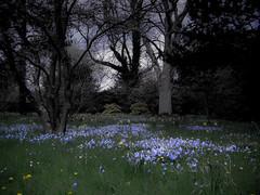 Bluebells at twilight