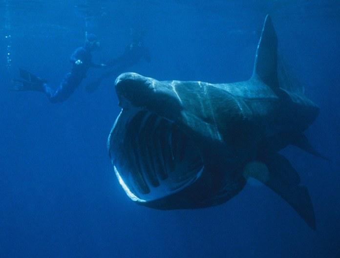 攝食中的象鮫。圖片來源:維基百科;作者: Chris Gotschalk(Public domain)