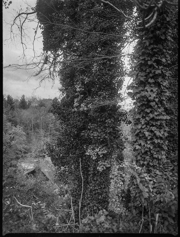 winter landscape, ivy-covered tree trunks, near dusk, grounds, Kenilworth Inn,  Asheville, NC, Mamiya 645 Pro, mamiya sekkor 45mm f-2.8, Foma 400, HC-110 developer, 11.10.20
