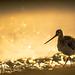 Bar-tailed Godwit - Pfuhlschnepfe