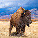 Bison near Steamboat Springs