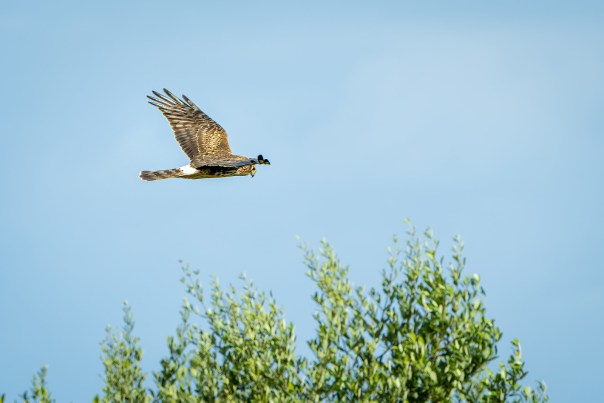 Gray Ghost (Northern Harrier)