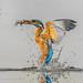 Ijsvogel / King fisher / Martin pêcheur