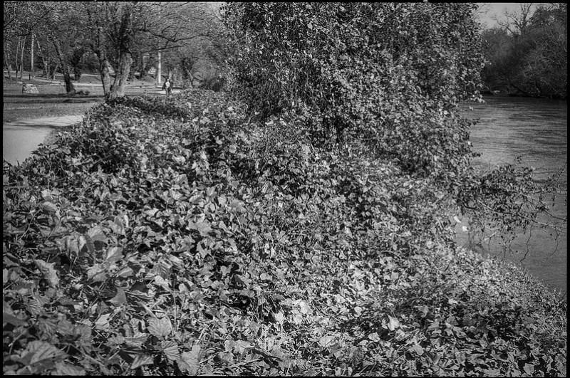 kudzu covered landscape, pedestrian pathway, French Broad River, Carrier Park, Asheville, NC, Minolta XG-M, Super Albinon 28mm f-2.8, Arista.Edu 200, Moersch Eco developer, 11.22.20