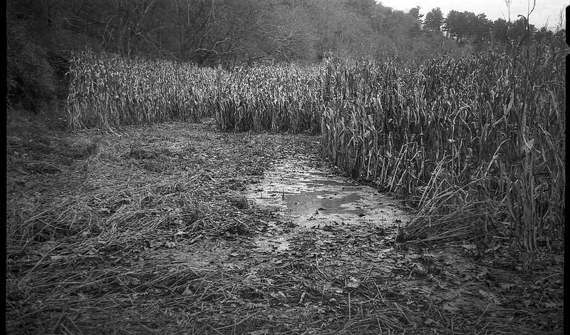 cornfield, forest, standing water, dusk, Biltmore Estate, Asheville, NC, Kodak Bantam, 828 folding camera, Arista.Edu 200, Moersch Eco developer, 11.22.20