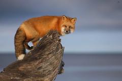 Red fox - Renard roux - Vulpes vulpês