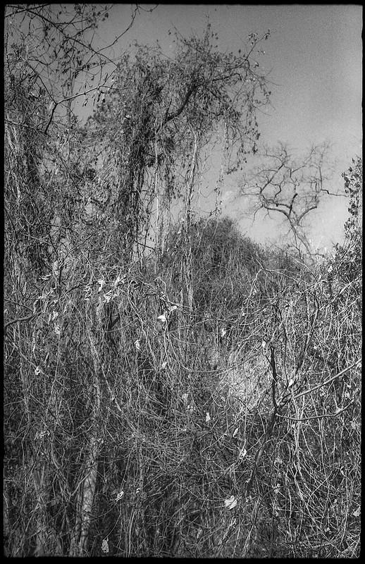 looking up, trees and vines, remnant leaves, winter, river district, Asheville, NC, Ansco Super Memar, Fomapan 200, Moersch Eco film developer, 12.8.20