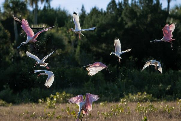 Ibises and Spoonbills
