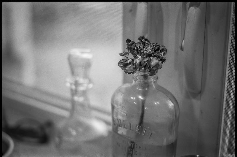 single blossom, bottle vase, kitchen casements, homestead, Asheville, NC, Minolta XG-M, Super Albinon 28mm f-2.8, Ilford XP4+, Moersch Eco film developer, 12.17.20