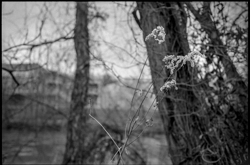 dried wildflowers, tree trunks, bare branches, near dusk, French Broad River, Asheville, NC, Minolta XG-M, Super Albinon 28mm f-2.8, Ilford XP4+, Moersch Eco film developer, 12.17.20