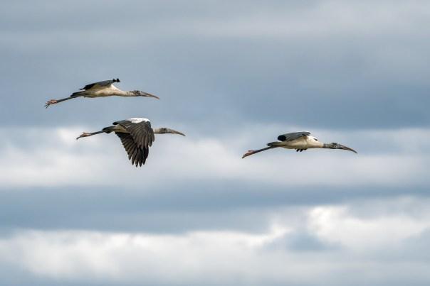 Formation flight: Three Wood Storks