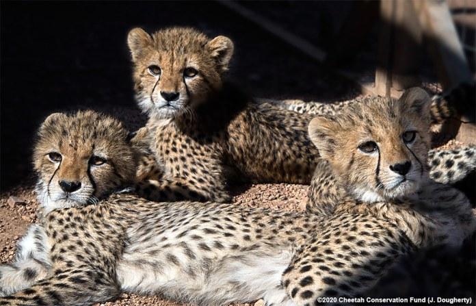 5 三隻幼豹。影像來源:J·多格蒂(J. Dougherty)獵豹保育基金會。