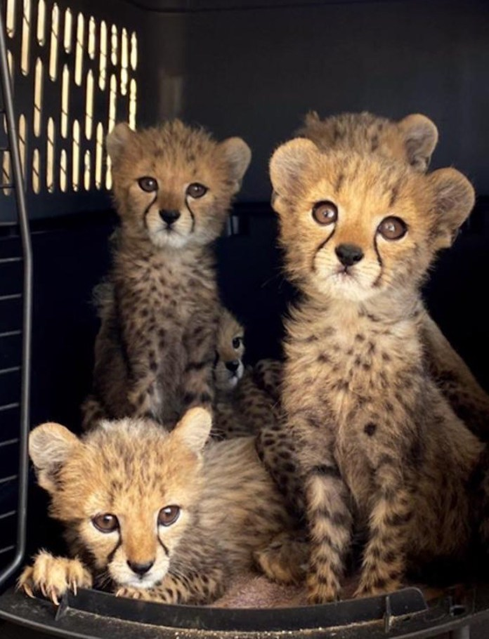 7 5隻幼豹被送往庇護所。圖片來源:獵豹保育基金會。