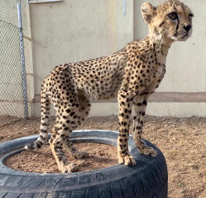6 救援小組救出營養不良而體重過輕的幼豹。圖片來源:獵豹保育基金會Joe Bottiglieri。