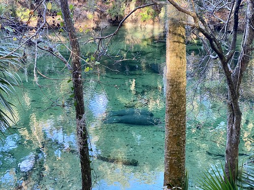 Manatee Couple at Blue Spring State Park