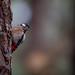 Great-spotted Woodpecker - Buntspecht - ssp canariensis
