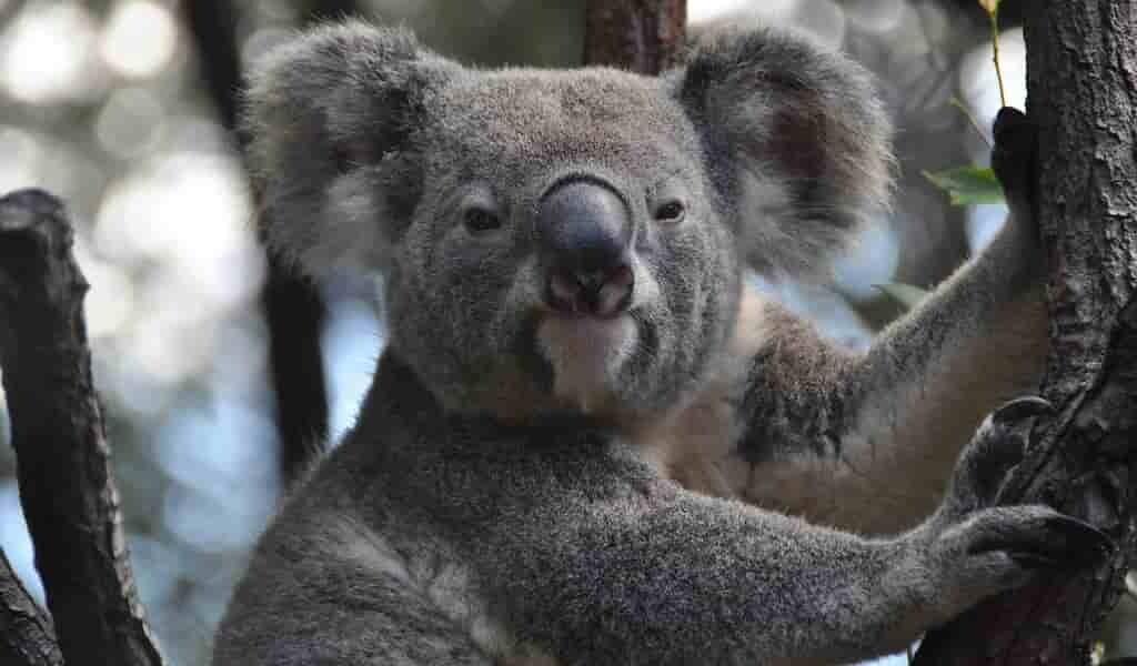 des-koalas-ont-été-stérilisés-contre-la-surpopulation