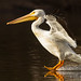 American White Pelican Lands On The Surface Of A Lake