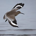 A Flying Willet With Both Wings Out On A Gray And Cloudy Day