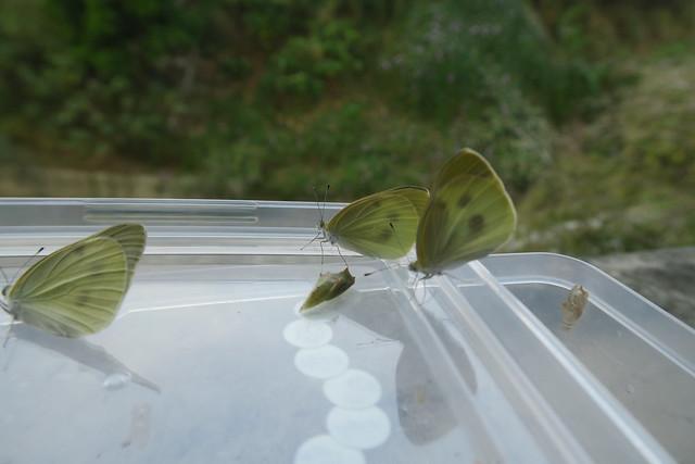 紋白蝶長大記:從卵、菜蟲、蛹到羽化