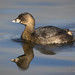 Portrait Of A Swimming Pied-billed Grebe