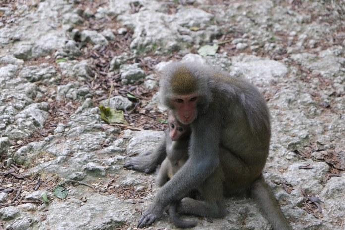 台灣獼猴。劉羽芯攝。