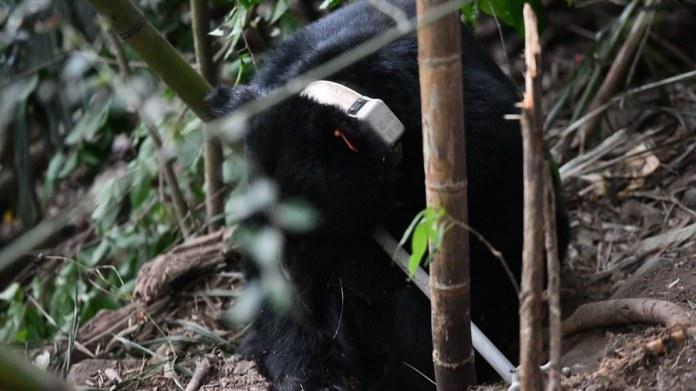 「711」傷癒野放後仍持續造訪人類部落,專家認為可能競爭力較弱、也與個體習性有關。資料照,東勢林管處提供。