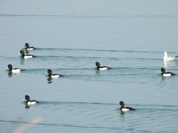20210125布袋鹽田光電與鳥報導。鳳頭潛鴨。照片提供:布袋五鹽田