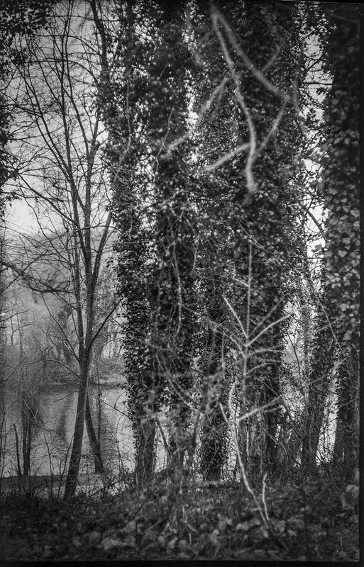 ivy-covered tree trunks, rhythmic stand, French Broad River, Hominy Creek River Park, Asheville, NC, Ercona II, Bergger Pancro 400, Ilfosol 3 developer, late January 2021