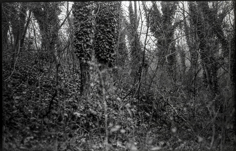 inside a tree stand, ivy-covered tree trunks, visual rhythm, French Broad River, Hominy Creek River Park, Asheville, NC, Ercona II, Bergger Pancro 400, Ilfosol 3 developer, late January 2021