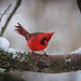 Red Cardinal, White Snow