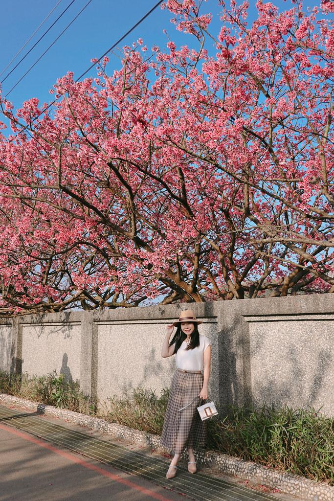 來去看櫻花,陽明山平菁街42巷
