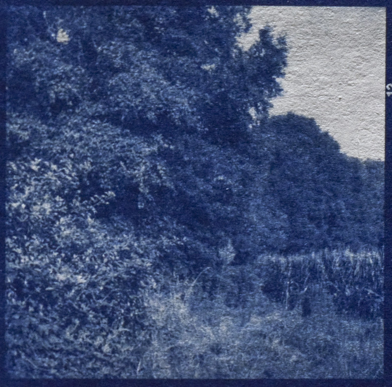 landscape with trees and cornfield, Biltmore Estate, Asheville, NC, cyanotype, medium format negative, 6x6, shot with Ricohflex Dia M twin lens reflex, image size 2 1-4 x 2 1-4 inches