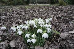 Snowdrops clump