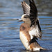 A Male American Wigeon Rises Out Of The Water While Flapping His Wings