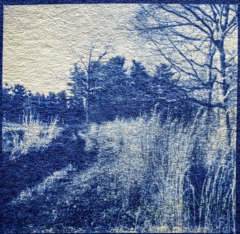 rural lane, tall grasses II, forest's edge, Biltmore Estate, Asheville, NC, cyanotype, 6x6 medium format film negative, natural fiber hot press paper, Ricohflex Dia M, 2019